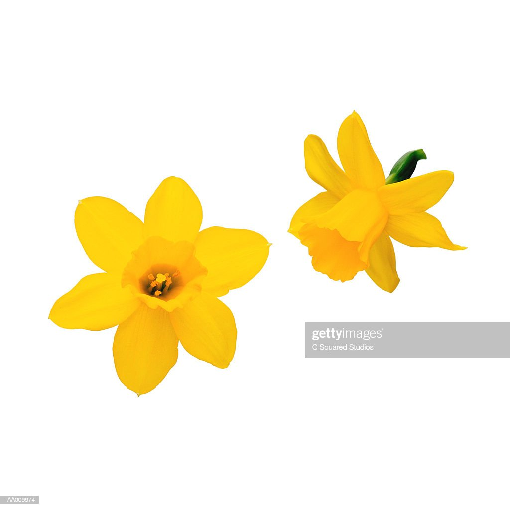 Daffodils : Stock Photo