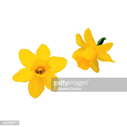 Daffodils : Stock Photo