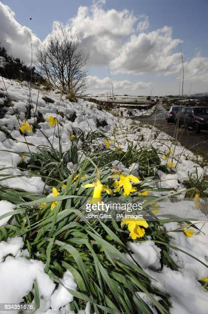 Daffodils struggle to bloom after more snow fell near Huddersfield today
