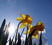 Bright dafodills under a Beautiful Spring day in England.