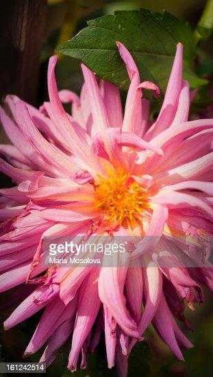 Dahlia Blossom Fully Open : Stock Photo