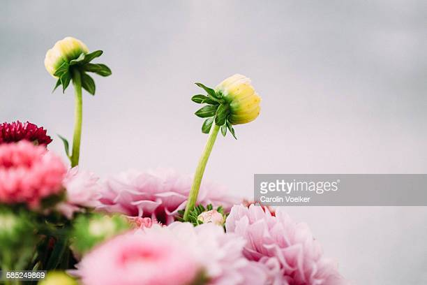 Dahlia buds sticking out of a bouquet