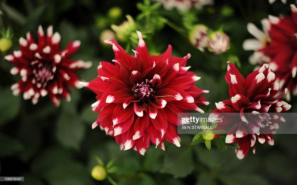 Dahlia 'Duet' flowers are pictured at the Chelsea Flower Show in London, on May 24, 2010. Garden designers have had to cope with unseasonal frosts up to a week before the event and possibly the warmest day of the year Monday.
