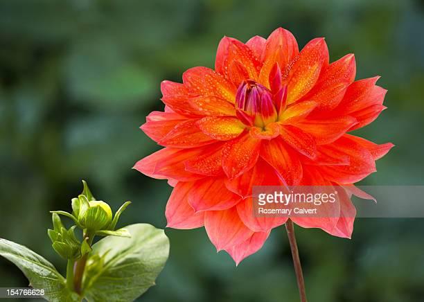 Dahlia 'Firepot' flower and bud, close-up
