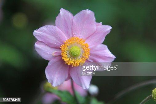 Fleur de Dahlia : Photo
