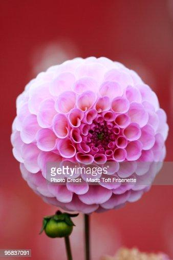 Dahlia flower with bund : Stock Photo