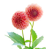 Dahlia pink flowers isolated on white background
