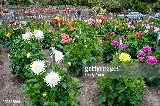 Dahlia Flowers In The Dahlia Garden In Golden Gate Park Stock