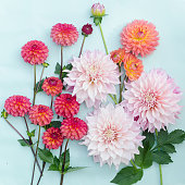 Colorful dahlias on a turquoise blue background.
