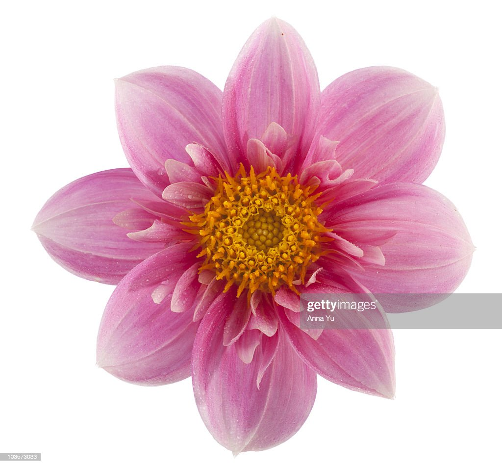 Dahlia Hartenaas : Stock Photo