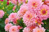 Dahlia in summer, is called Harzfee