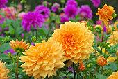 Dahlia in summer, is called Orange Garden