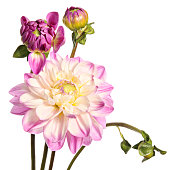Dahlias. Pink flowers isolated on a white background