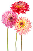 Studio Shot of Yellow and Red Colored Dahlia Flowers Isolated on White Background. Large Depth of Field (DOF). Macro. Symbol of Elegance, Dignity and Good Taste.