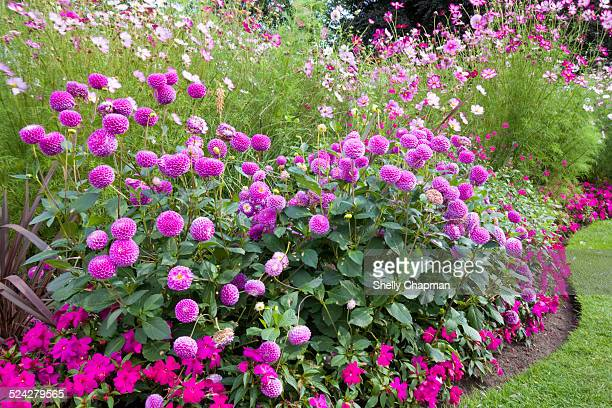 Dahlias Flower Borders