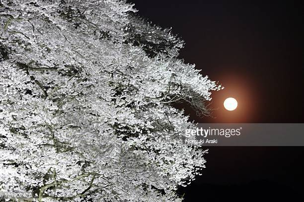 Daigo cherry,old tree and moon