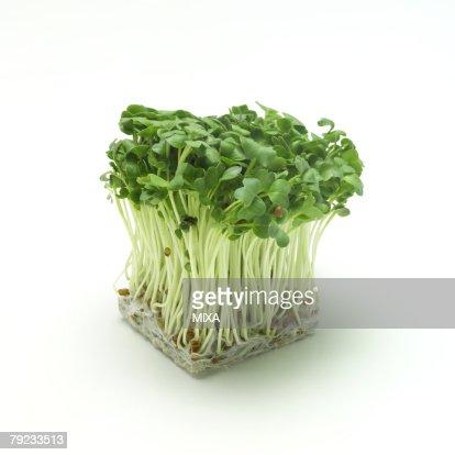 Daikon sprouts : Stock Photo