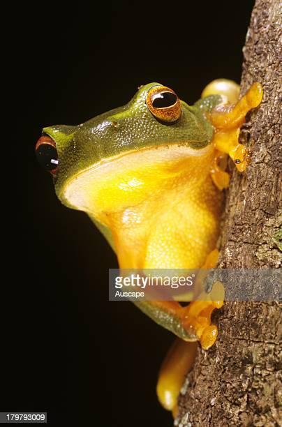 Dainty green tree frog Litoria gracilenta Cedar Creek Brisbane Queensland Australia
