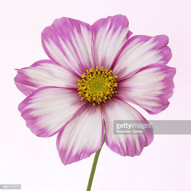 Dainty pink and white cosmos flower