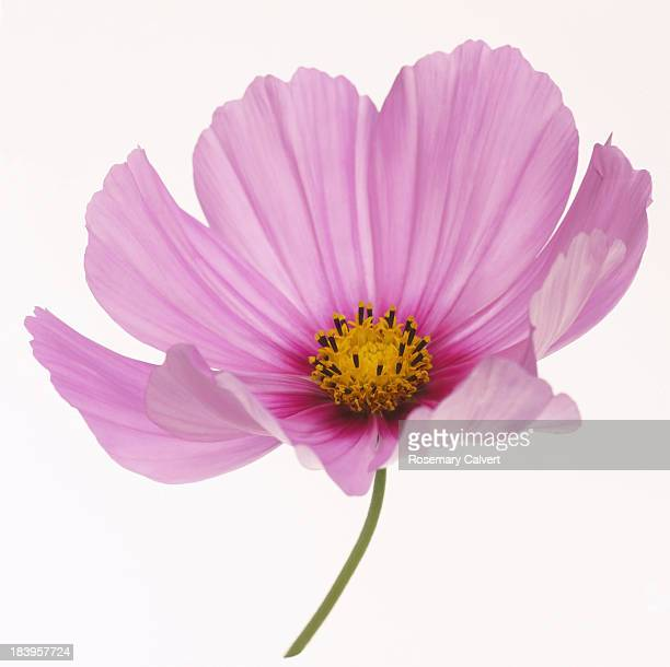 Dainty pink cosmos flower in close-up on white