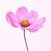 Dainty pink cosmos flower with painterly quality
