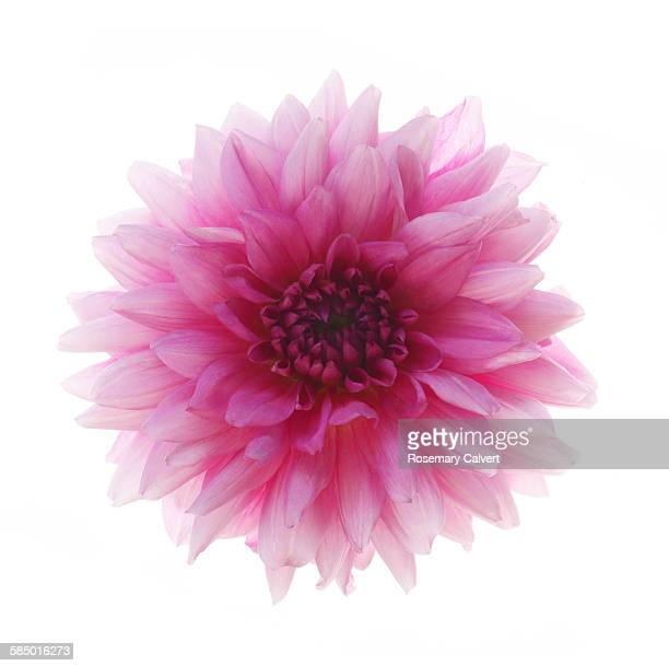 Dainty pink dahlia on a white background