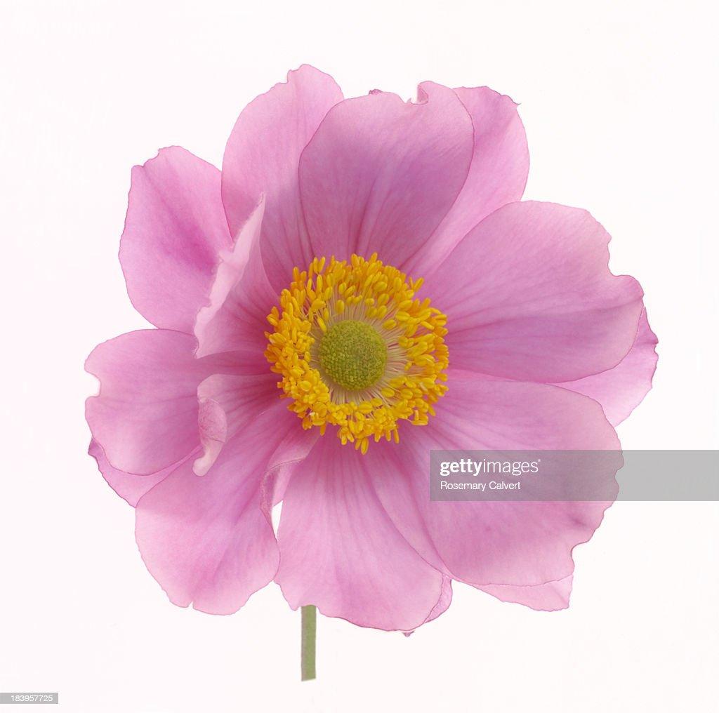 Dainty pink Japanese anemone