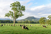 Holstein cattle dairy cow herd graze on farm pasture in Kangaroo Valley, New South Wales, Australia