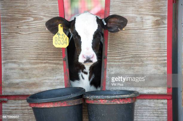 Dairy cow calf feeding from a bucket outside of pen