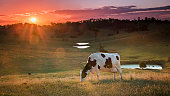 Cow in pasture.