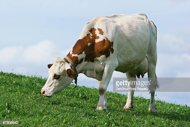Dairy cow grazing in pasture, close-up