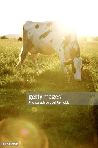 Dairy Cow grazing
