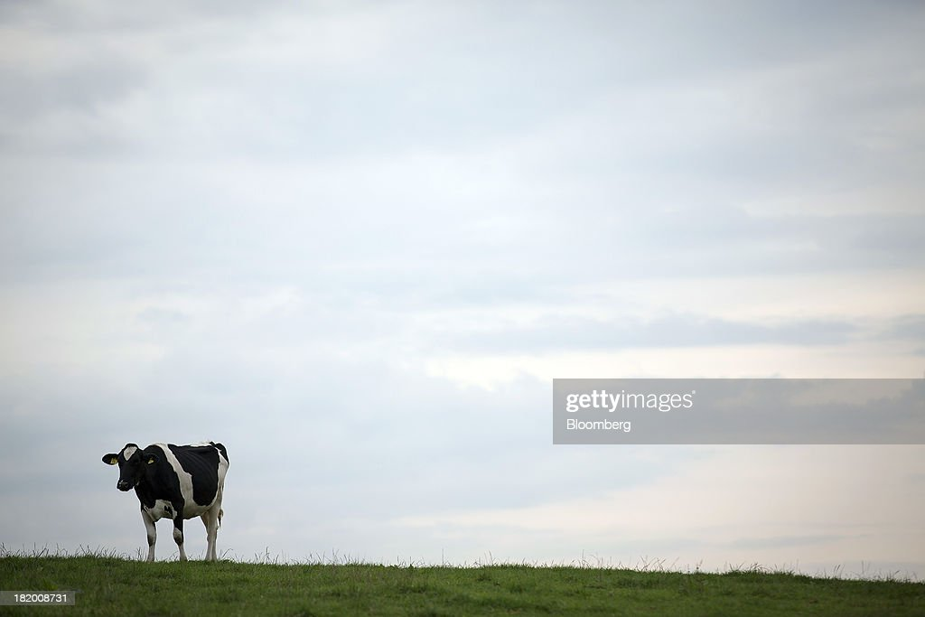 A dairy cow stands in a grass field near Wyke Farms Ltd., in Bruton, U.K., on Friday, Sept. 27, 2013. Wyke Farms, the U.K.'s largest family-owned cheese maker and milk processor, has started using waste from its cows and pigs to generate clean power and help shave as much as 1 million pounds ($1.6 million) a year off its energy bills. Photographer: Simon Dawson/Bloomberg via Getty Images