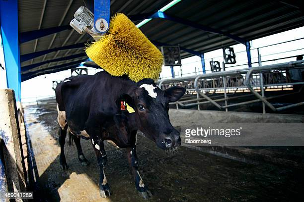 A dairy cow stands under a massage machine in a cattle feed shed at the Sapphire Dairies Ltd farm operated by Sapphire Group in the Manga area of...