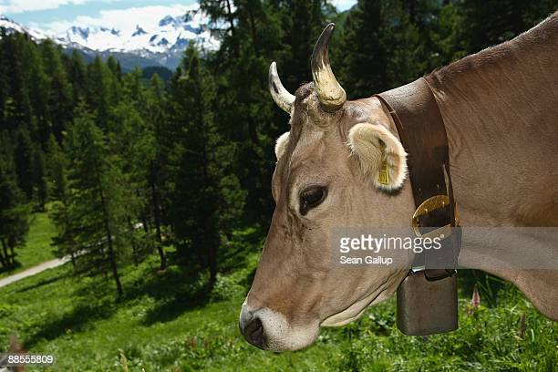 A dairy cow with a heavy bell around its neck grazes on grass in the alpine landscape on June 12 2009 near St Moritz Switzerland Grazing cows are a...