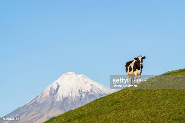 Dairy cow with Mount Taranaki (Mt Egmont), New Zealand