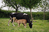Dairy cow with young calf