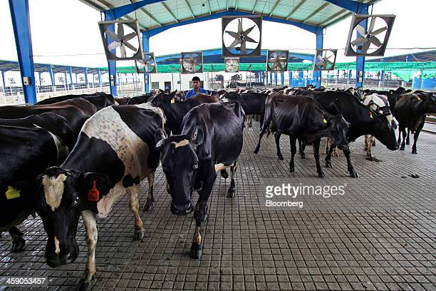 Dairy cows are herded through the milking yard on their way to the milking parlor at the Sapphire Dairies Ltd farm operated by Sapphire Group in the...