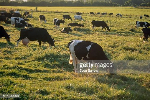 Dairy cows grazing : Stock Photo