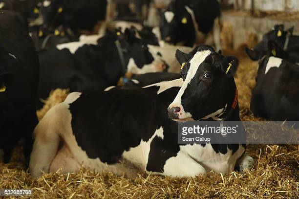 Dairy cows recline in a barn at the Wolters dairy farm on May 19 2016 in Bandelow Germany German dairy farmers are struggling as milk prices have...