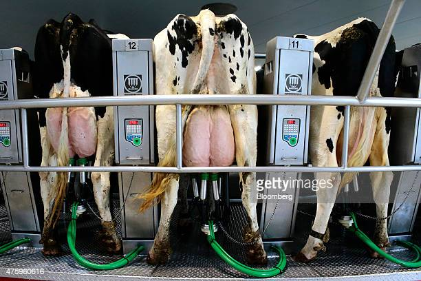 Dairy cows stand in milking machine cells during milking at the Blanca From The Pyrenees dairy farm partnered with Ponderosa Holsteins in Els...