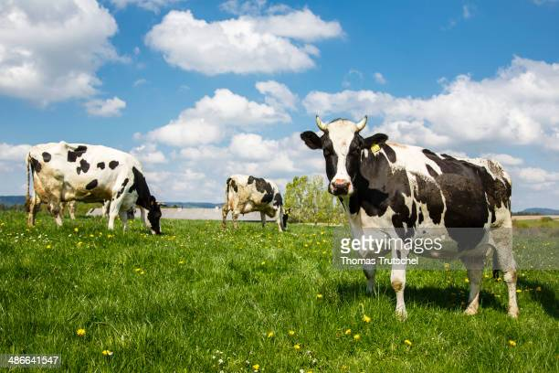 Dairy cows standing on a field on April 20 in Buecheloh Germany Milk cows in Thuringia