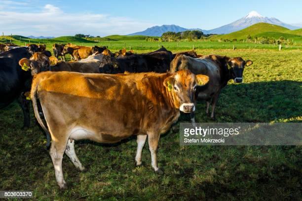 Dairy cows with Mount Taranaki, New Zealand