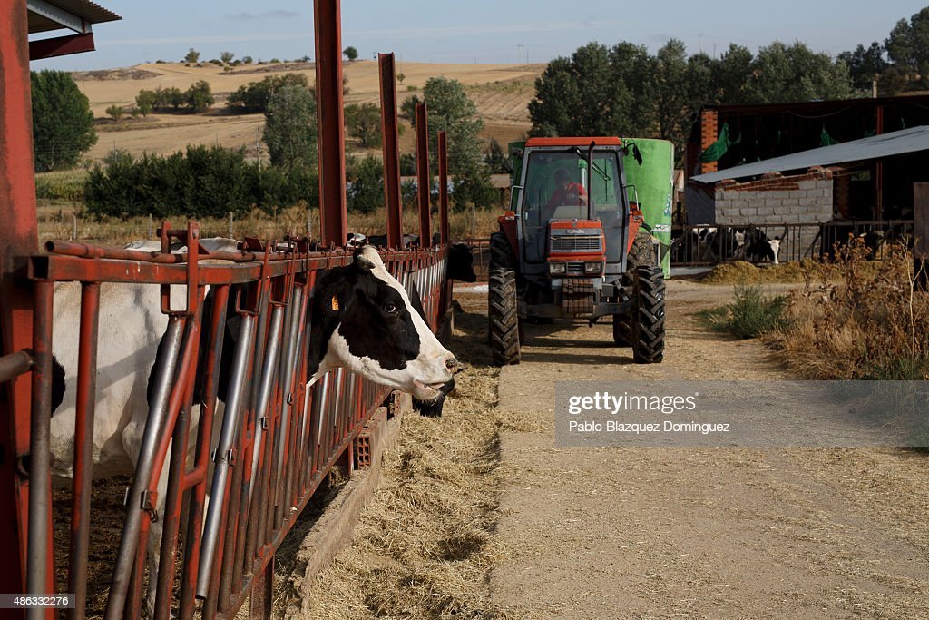 Dairy farmer Angel Vicente operates a tractor as he lays out feed for his cattle at a farm on September 1, 2015 in Fuentespreadas, near Zamora, in Spain. Many farmers are losing money from the production of milk due to falling prices and cheap foreign imports. Dairy farmers are being forced out of business as they face problems with access to a salary and difficulties paying suppliers of food, mechanical and veterinary services, despite long working hours. At least 500 farmers are expected to take part in a protest march that started in Leon and will arrive in Madrid on September 4, where they will demonstrate outside the ministry of agriculture.