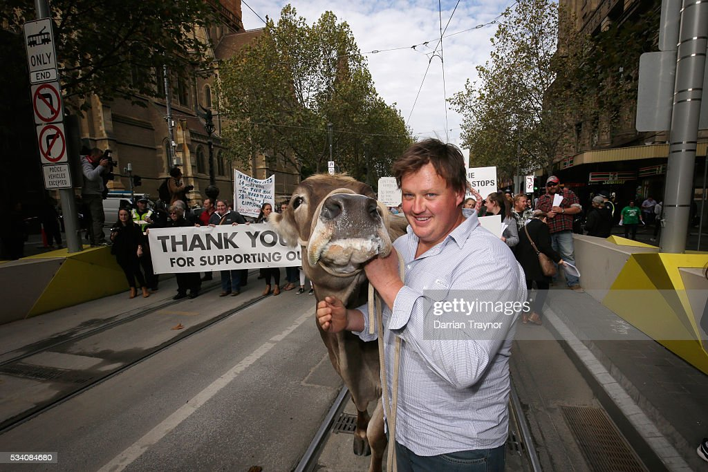 Dairy Farmer Ben Govett walks 'Sary' the dairy cow along Swanston Street on May 25, 2016 in Melbourne, Australia. The Federal Government is expected to announce an assistance package for dairy farmers, who have been struggling due to falling milk prices in recent months.
