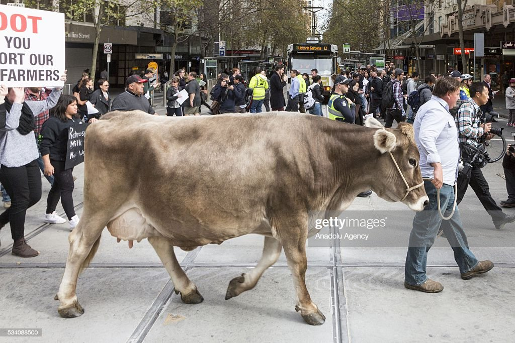 Dairy Farmer Ben Govett walks 'Sary' the dairy cow along the street during protest demanding Australian government to solve the dairy crisis in Melbourne, Australia on May 25, 2016.