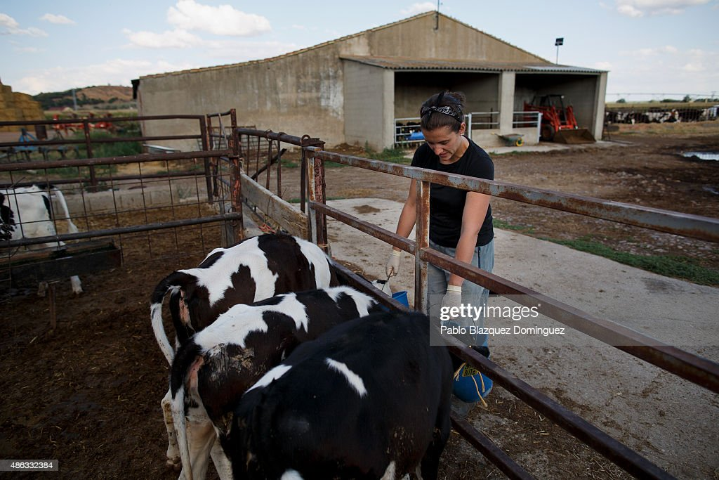 Dairy farmer Marta Escudero feeds calves at Santa Maria de la Vega farm on September 1, 2015 in Toro, near Zamora, in Spain. Many farmers are losing money from the production of milk due to falling prices and cheap foreign imports. Dairy farmers are being forced out of business as they face problems with access to a salary and difficulties paying suppliers of food, mechanical and veterinary services, despite long working hours. At least 500 farmers are expected to take part in a protest march that started in Leon and will arrive in Madrid on September 4, where they will demonstrate outside the ministry of agriculture.