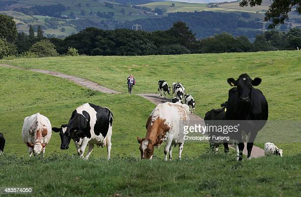 Dairy farmer Mike Gorton brings his cows home for milking at his farm near Macclesfield in Cheshire on August 10 2015 in Macclesfield England Mike...