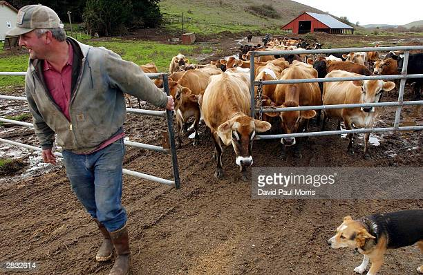 Dairy farmer Pete Lepori gets ready to milk his Jersey cows on his farm December 26 2003 outside of Petaluma California With suspected cases of Mad...