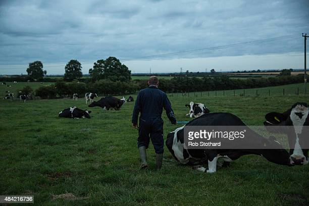 Dairy farmer Tim Whittaker herds cows to be milked in the early morning at Newlands Farm on August 16 2015 in Bozeat England Newlands Farm Bozeat has...